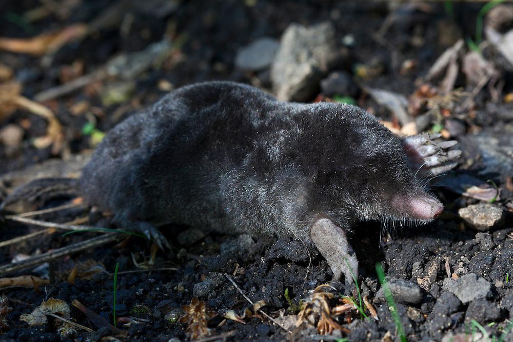 European mole, Talpa Europaea, in a country garden, the Cotswolds, Oxfordshire, UK