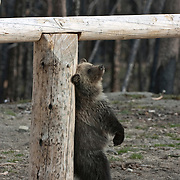 Grizzly bear (U.a. horribilis) cub pauses to use a hitching post for a back scratch near a trailhead close to the east entrance. Autumn in Yellowstone National Park