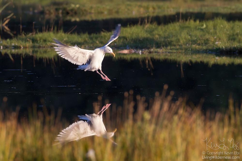 A glaucous gull (Larus hyperboreus) prepares to land on the water of Edmonds Marsh in Edmonds, Washington.