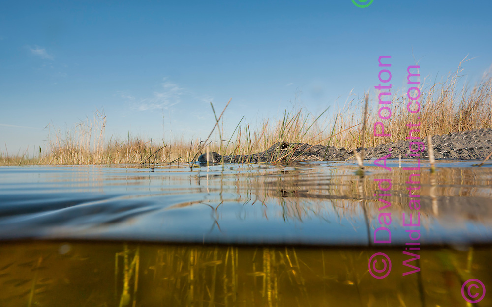 Alligator on surface of pool in sawgrass marsh, from low angle showing above and below water, © 2007 David A. Ponton