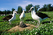 Albatross, Midway Island, NW Hawaii