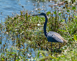 A Little Blue Heron looking for a quick meal, Lake Apopka Wildlife Drive, Florida. Image taken by Joy Aldridge with a NIKON Z 6_2 and NIKKOR Z 70-200mm f/2.8 VR S Z TC-2.0x at 400mm, ISO 500, f9, 1/1000.