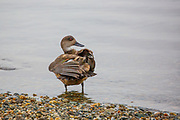 crested duck or South American crested duck (Lophonetta specularioides) is a species of duck native to South America. Photographed in Tierra del Fuego, Argentina in February