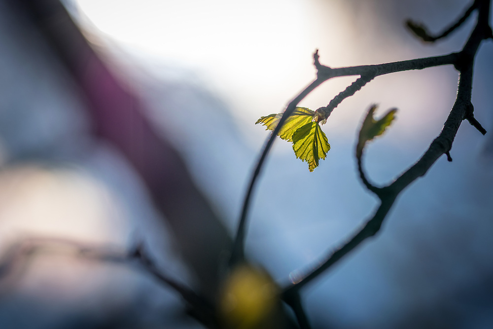 13 May 2016, Umea, Sweden: Leaves on branches in the sun.