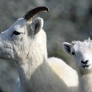 Dall Sheep, (Ovis dalli) Portrait of lamb amd ewe. Fall. Denali National Park. Alaska.