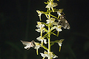 The shark moth (Cucullia umbratica) nectaring on Greater Butterfly Orchid (Platanthera chlorantha) with pollinia. Sussex, UK.