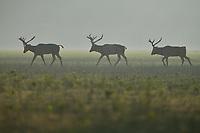 Three stags of the Père David's deer, or Milu, Elaphurus davidianus, walking on grass in the morning mist in Hubei Tian'ezhou Milu National Nature Reserve, Shishou, Hubei, China