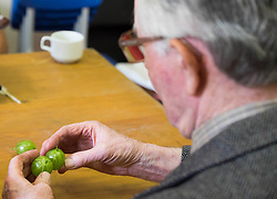 © Licensed to London News Pictures.04/08/15<br /> Egton, UK. <br /> <br /> <br /> Judge BRYAN NELLIST checks entries during judging at the annual Egton Gooseberry Show. <br /> There are only two Gooseberry societies left in the country. One in Cheshire and one at Egton in North Yorkshire. The annual show in Egton uses traditional Avoridupois scales to measure the weight of the berries and members of the society are fanatical about trying to grow the best berries each year. <br /> <br /> Photo credit : Ian Forsyth/LNP