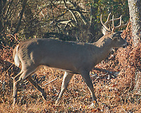 Buck with 8-point rack. Image taken with a Nikon N1V3 camera and 70-300 mm VR lens.
