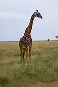 Masai Giraffe (Giraffa camelopardalis) also known as the Maasai Giraffe or Kilimanjaro Giraffe, is the largest subspecies of giraffe and the tallest land mammal. It is found in Kenya and Tanzania. Photographed in Serengeti National Park Tanzania,