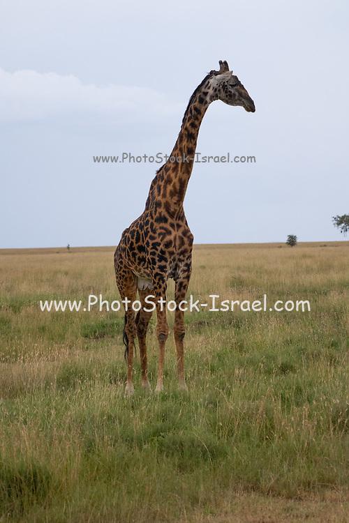 Masai Giraffe (Giraffa camelopardalis) also known as the Maasai Giraffe or Kilimanjaro Giraffe, is the largest subspecies of giraffe and the tallest land mammal. It is found in Kenya and Tanzania. Photographed in Serengeti National Park Tanzania,