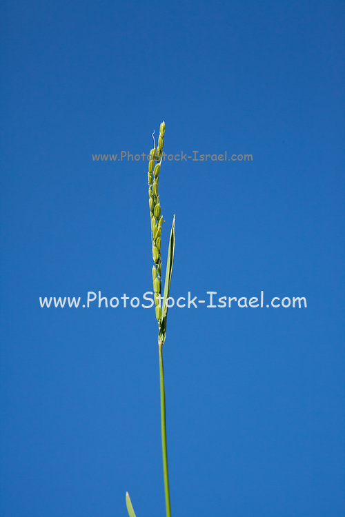 Rice stalk with blue sky background Photographed in a Rice paddy in Toyooka (Toyooka-shi) is a city in the northern part of Hyogo Prefecture, Japan. The city was founded on April 1, 1950.