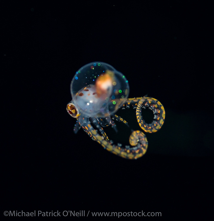 A Long Arm Octopus larvae, Octopus defilippi, drifts in the Gulf Stream current offshore Palm Beach, Florida, United States during a blackwater dive late in the evening.