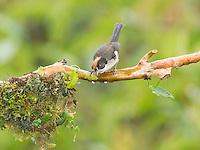 White-winged brush finch, Atlapetes leucopterus. Tandayapa Valley, Ecuador