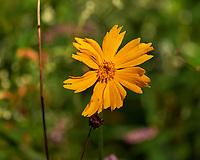 Lance-leaf Coreopsis. Image taken with a Leica CL camera and Sigma 100-400 mm lens