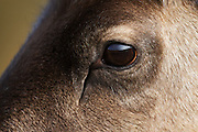 Closeup of the head of a reindeer, showing the eye and surrounding area.