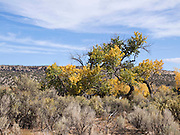 Fall colors on Cottonwood trees in southern Utah.