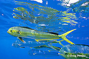 school of dorado, mahi-mahi, mahimahi, mahi mahi, or dolphin fish, Coryphaena hippurus, in offshore pelagic waters, off Kaiwi Point, Kona, Hawaii Island ( the Big Island ), U.S.A. ( Central Pacific Ocean )