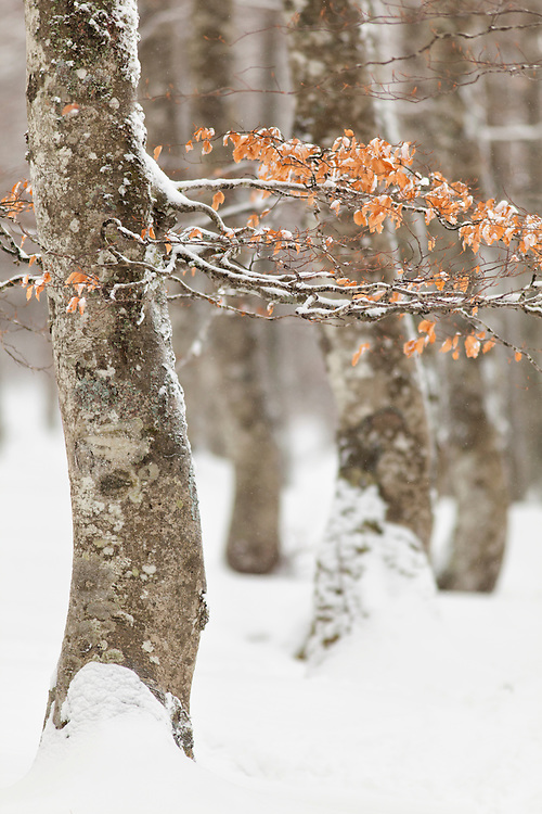 Beech branches in the snow