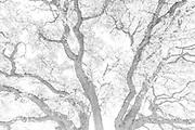 Spreading Oak, Coarsegold, California