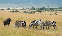 Grant's Zebras, Equus quagga boehmi, and Wildebeest, Connochaetes taurinus, in Maasai Mara National Reserve, Kenya
