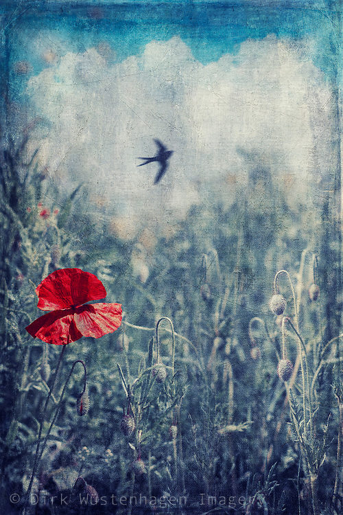 Single poppy flower in a field of barley with a swallow in the background- textured photography