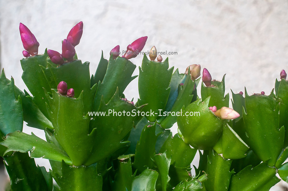 Christmas cactus flowers (Schlumbergera bridgesii). This cactus is found in the Organ Mountain forests, north of Rio de Janeiro, Brazil. It is cultivated in Europe as a Christmas plant. Photographed in Israel in January