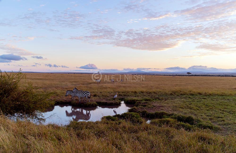 The savannah in Maasai Mara, Kenya, with a small waterhole and two zebras.