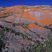 Lichen covered rocks and wildflowers near Churchill, Manitoba. Canada. Summer.