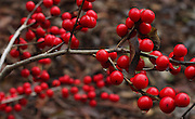 Red sprite provides bold colors as well as food for birds at the Winter Garden at the Washington Arboretum. <br />