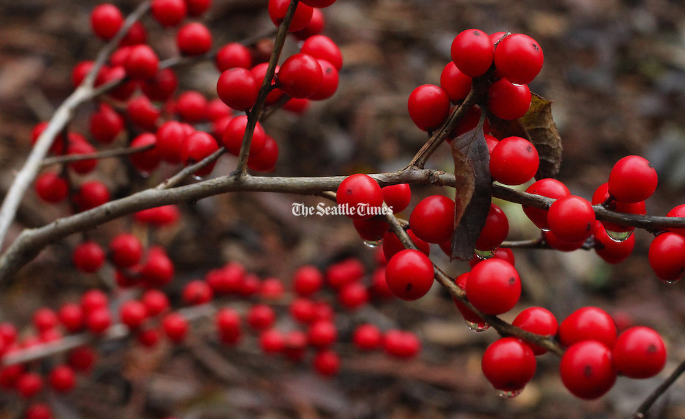 Red sprite provides bold colors as well as food for birds at the Winter Garden at the Washington Arboretum. <br /> <br /> Alan Berner / The Seattle Times