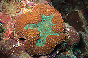 Lobophyllia hemprichii  Brain Coral - Agincourt Reef, Great Barrier Reef, Queensland, Australia. <br /> <br /> Editions:- Open Edition Print / Stock Image