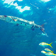 Great Baracuda reefs and nearby areas in Tropical West Atlantic, also nearly circumtropical; picture taken Grand Cayman.
