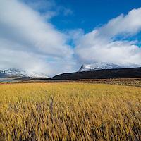 Yellow Autumn grasses in bog along Kungsleden trail, Lappland, Sweden