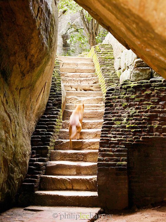 Wild dog at Sigiriya Rock citadel, Sri Lanka