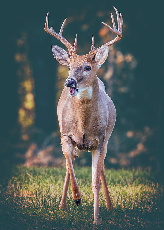 A buck trots out from the woods and catches enough light for a photo stop