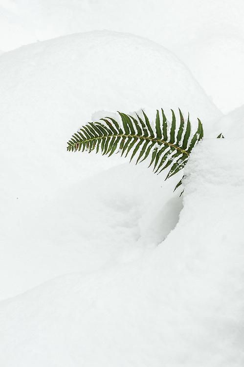 Sword fern (Lysichiton americanus), January, Clallam County, Olympic Peninsula, Washington, USA