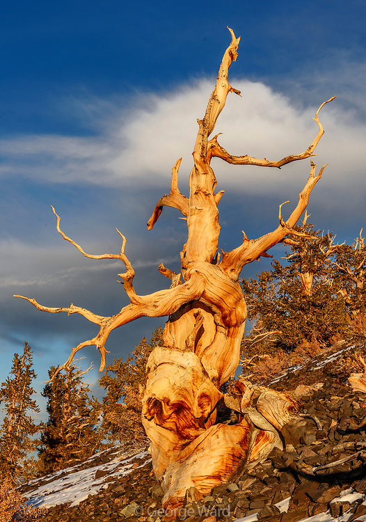 Outstreched Limbs of Ancient Bristlecone Pine with cloud at Sunset, The White Mountains, Inyo National Forest, California