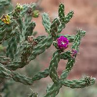 A tree cholla cactus (Opuntia imbricata) blooms near Abiquiu, New Mexico.