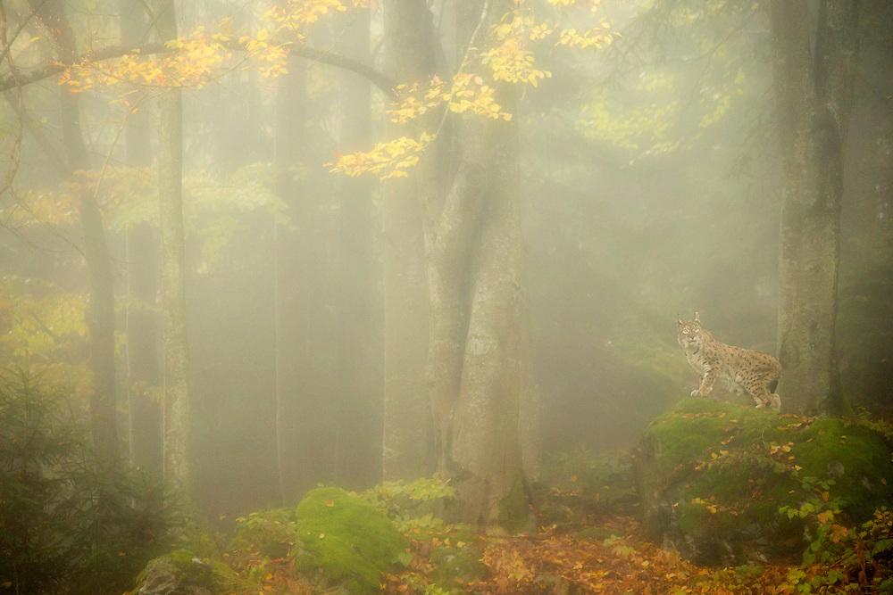 Eurasian lynx (Lynx lynx) in mist shrouded forest at dawn, Bavaria, October 2015