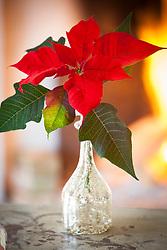 Poinsettia 'Infinity' in a vase