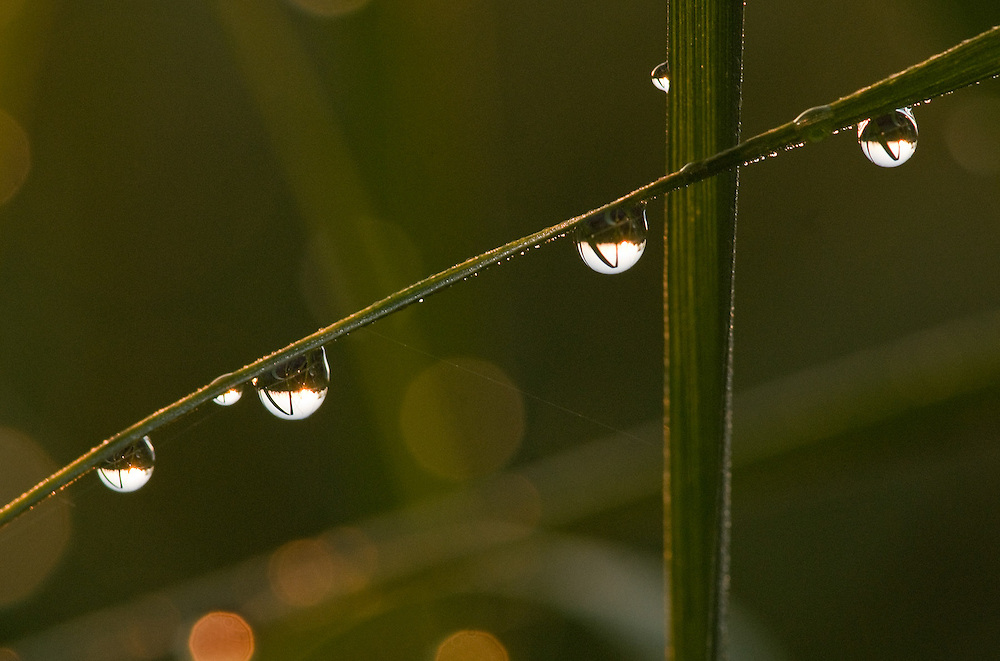 Grasses and Dewdrops
