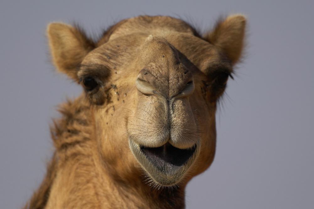 Dromedary camel, Camelus dromedarius, captive, Dubai Desert Conservation Reserve, Dubai