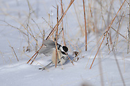 Black-Capped Chickadee flapping around just above the snow in the bead plants in the winter.
