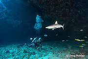underwater photographer Tom Carey photographs a juvenile gray reef shark, Carcharhinus amblyrhynchos, at Touch of Gray dive site, Mahaiula, North Kona, Hawaii (the Big Island),  United States ( Central North Pacific Ocean ) MR 483