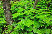 Ferns in Glacier National Park, Montana.