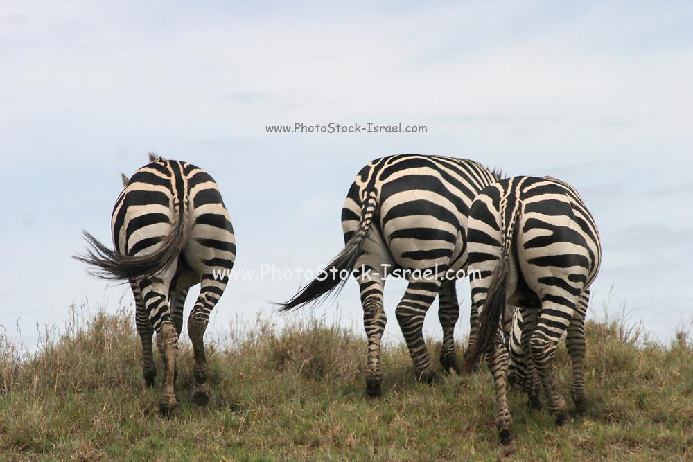 Africa, Tanzania, Serengeti National Park Herd of Zebras as seen from behind