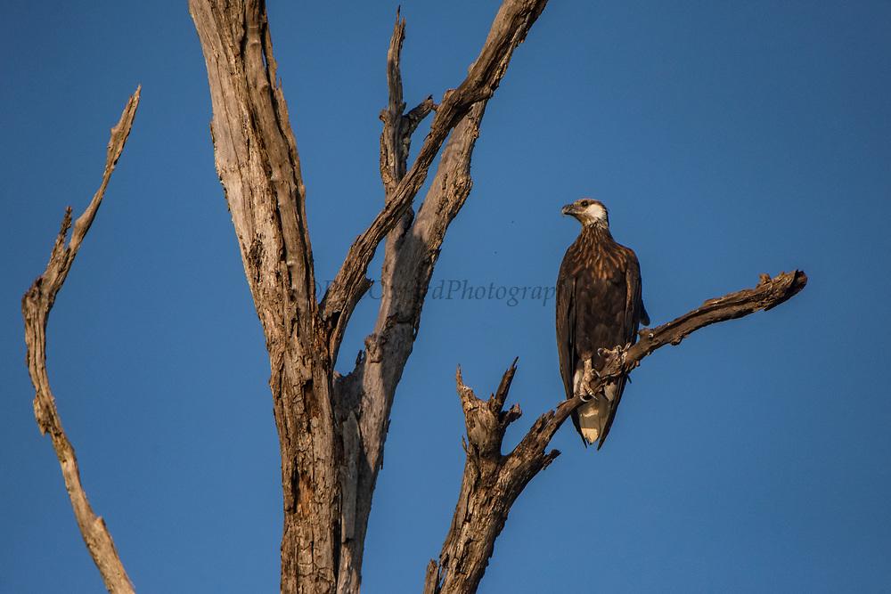 Madagascar fish eagle (Haliaeetus vociferoides)<br /> Ampijoroa<br /> Ankarafantsika Nature Reserve<br /> West Madagascar<br /> MADAGASCAR<br /> ENDEMIC<br /> CRITICALLY ENDANGERED