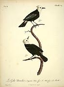 Gobe mouches Capuchon blanc [white-capped flycatcher] from the Book Histoire naturelle des oiseaux d'Afrique [Natural History of birds of Africa] Volume 4, by Le Vaillant, Francois, 1753-1824; Publish in Paris by Chez J.J. Fuchs, libraire 1805