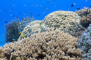 Fish on tropical Acropora subglabra coral reef - Agincourt reef, Great Barrier Reef, Queensland, Australia. <br /> <br /> Editions:- Open Edition Print / Stock Image